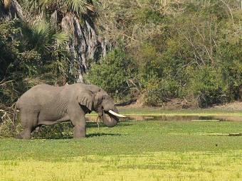 Gorongosa - Elefante nel parco